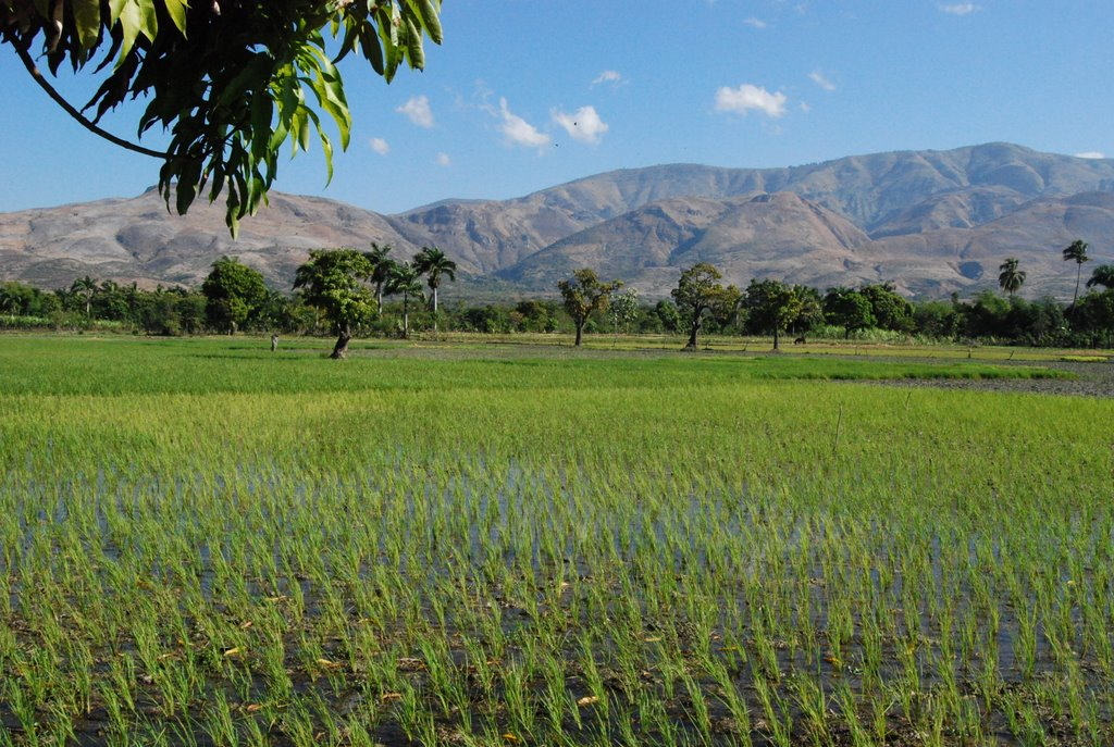 How the United States Crippled Haiti's Rice Industry