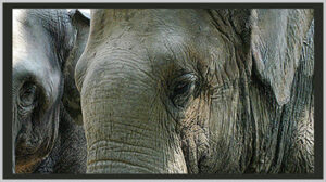 Asian and African elephants - Bagheera Endangered Species Classroom Glossary