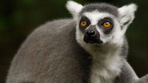 The ring-tailed lemur is part of The Unfolding Story of Extinction - photo by Craig Kasnoff