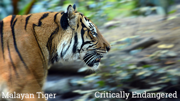 The Malayan tiger is part of The Unfolding Story of Extinction - photo by Craig Kasnoff