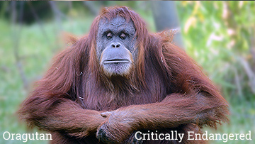 The orangutan is part of The Unfolding Story of Extinction- photo by Craig Kasnoff