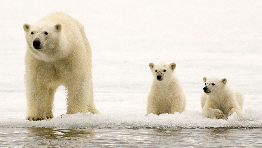 Polar Bears are Impacted by Global Climate Change - From Bagheera's Lair - Bagheera Endangered Species Education Resource
