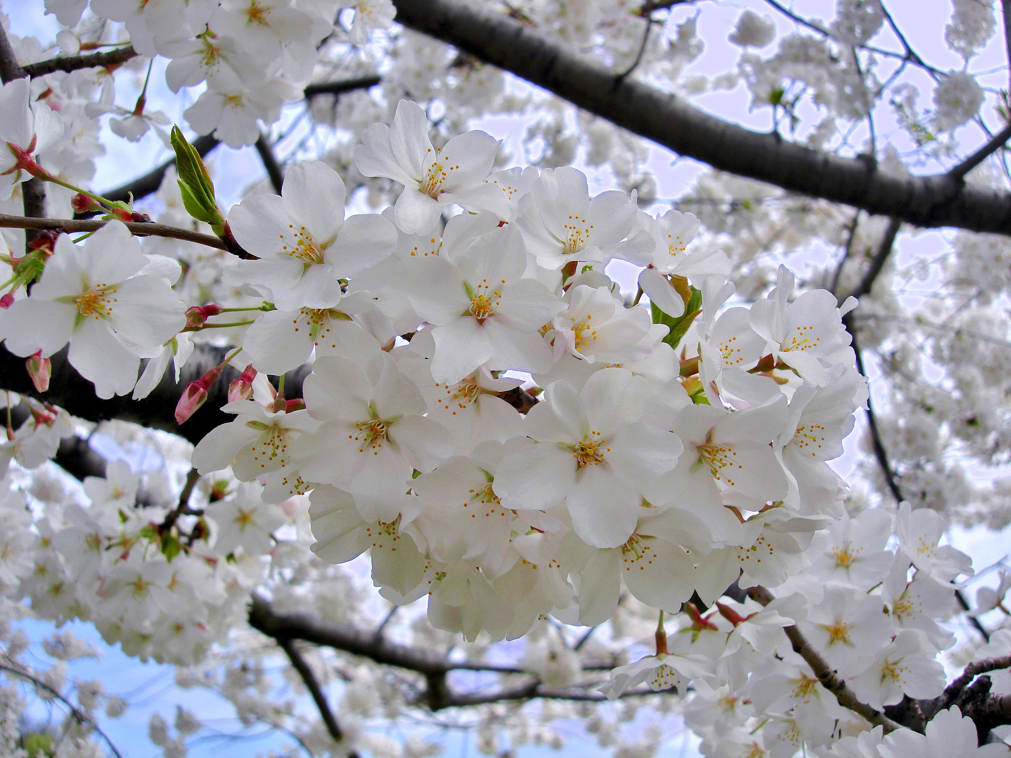 The 41st Annual Cherry Blossom Festival