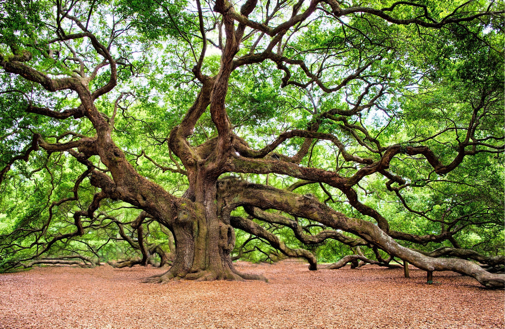 Large oak tree with sophisticated internal structure including cellulosic nano fibers
