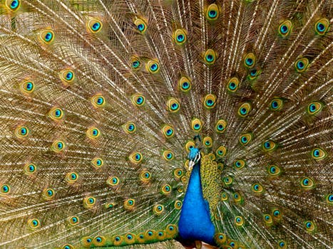 patterns in peacock feathers