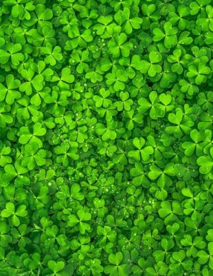 searching for four leaf clovers