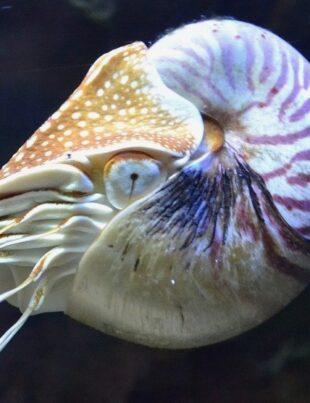 chambered nautilus facing extinction