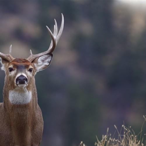 Dear Hunting