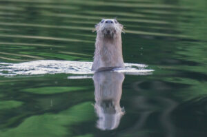 Watchful River Otter