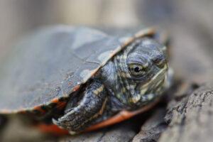 Painted Turtle Hatchling Portrait