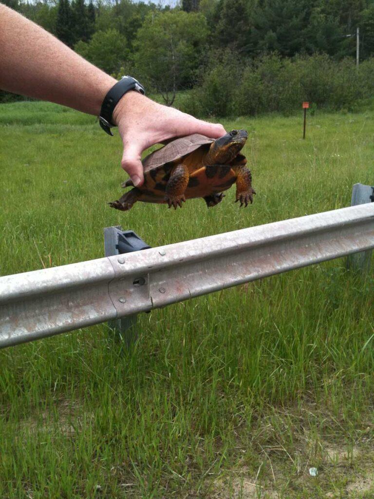 Wood Turtle on Road
