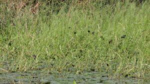 Red-Winged Blackbirds on Wild Rice