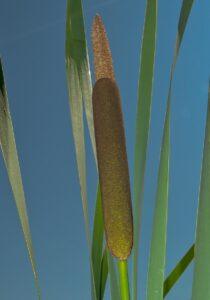 Broadleaf Cattail Flowers
