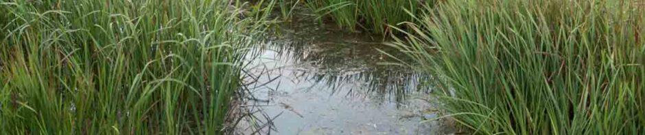 Burreed in Wetland