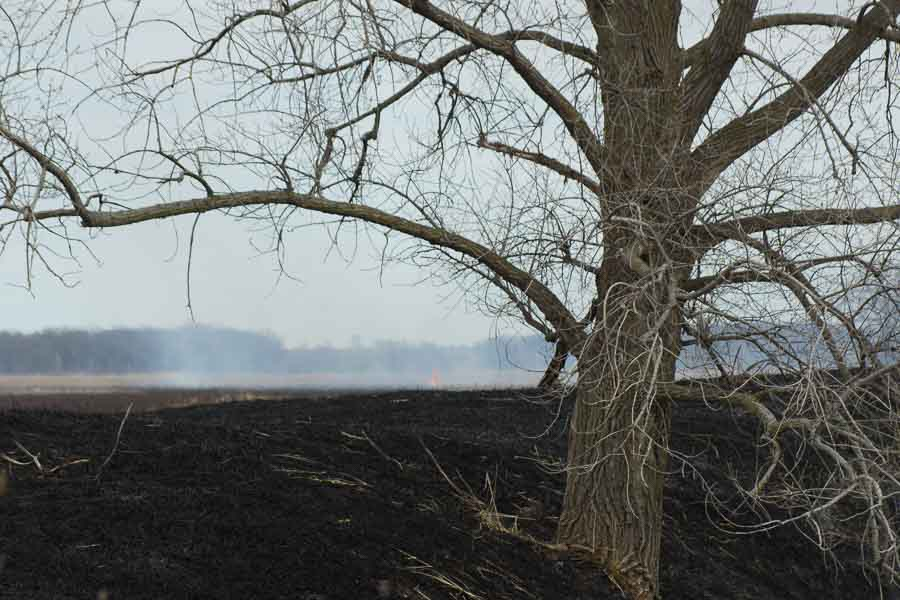 Cottonwood after fire