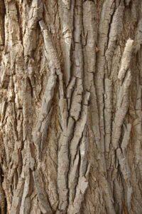Eastern Cottonwood Bark