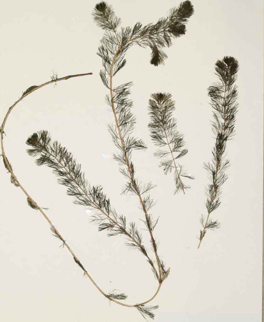 Eurasian Water-milfoil Miriophyllum spicatum