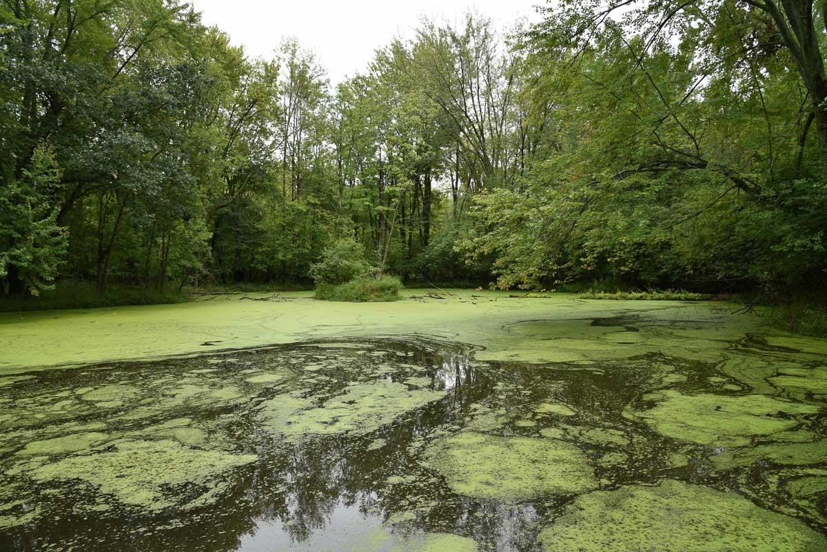 Hornwort Habitat