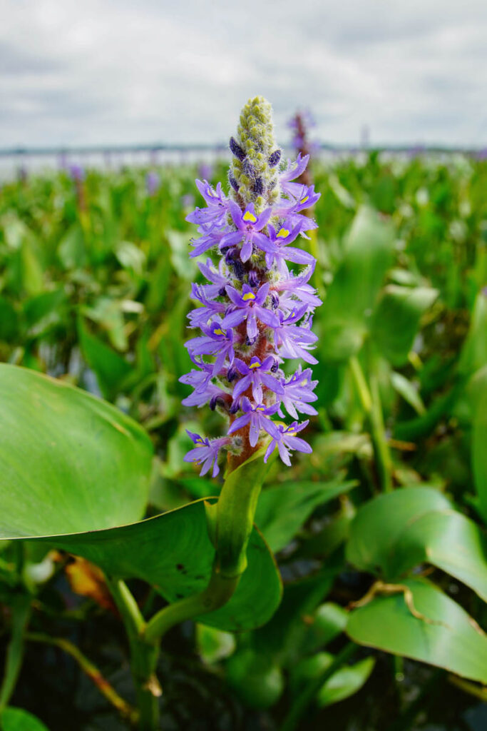 Pickerelweed (Pontederia cordata) Flowers