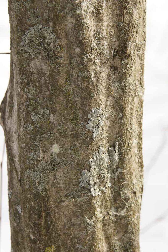Musslewood bark