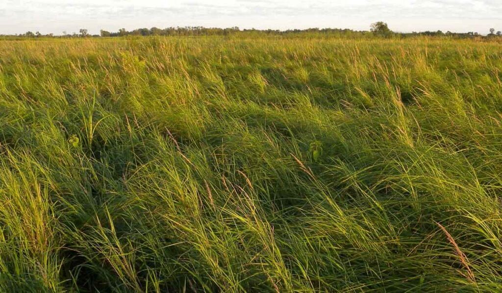 Graminoids in Sedge Meadow