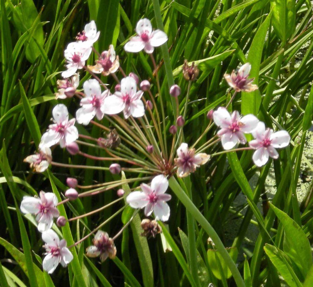 Flowering Rush Flower Head
