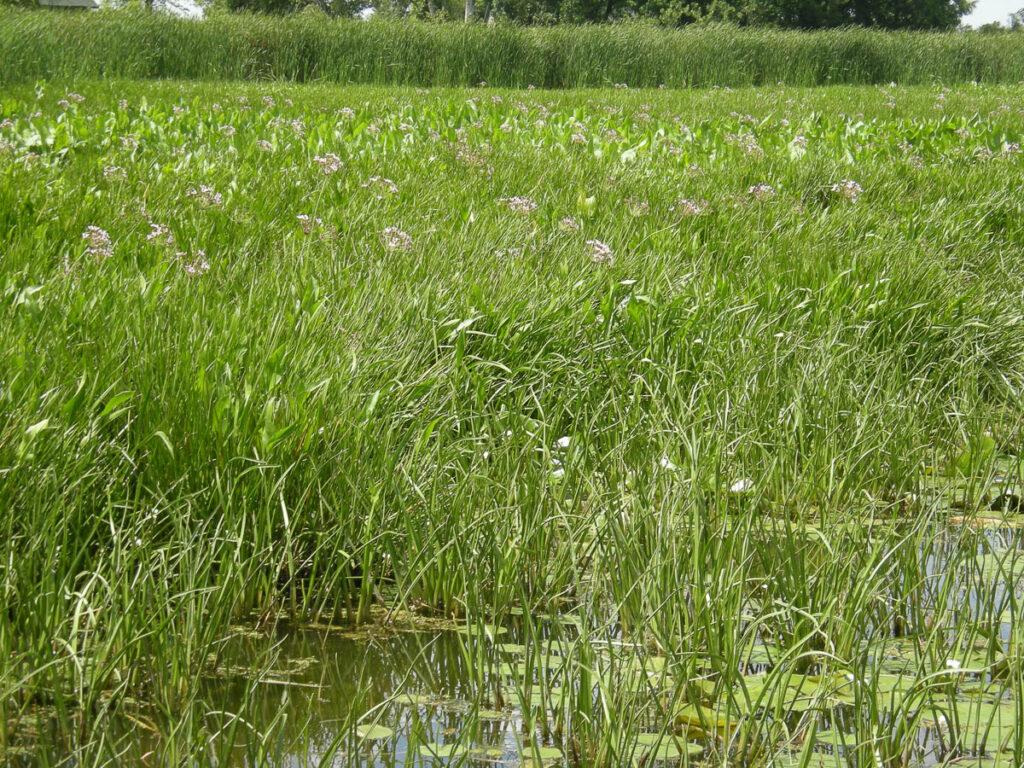 Flowering RushFlowering Rush and Natives and Natives