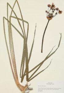 Flowering Rush Butomus umbellatus