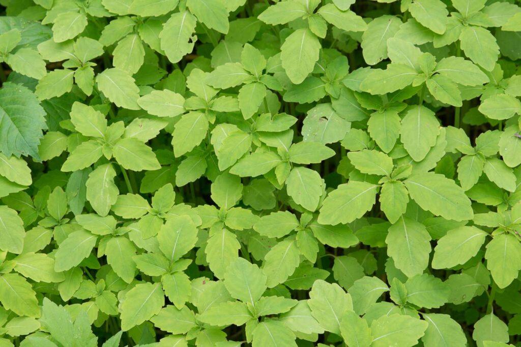 Jewelweed foliage