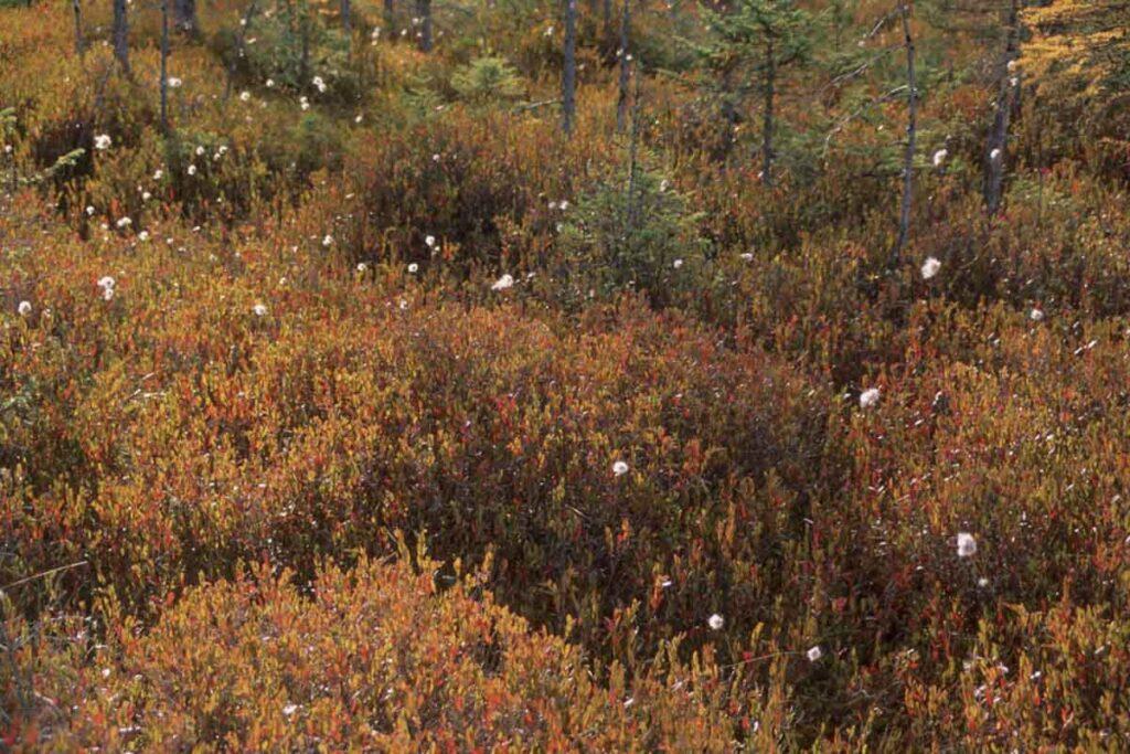 Leatherleaf Bog