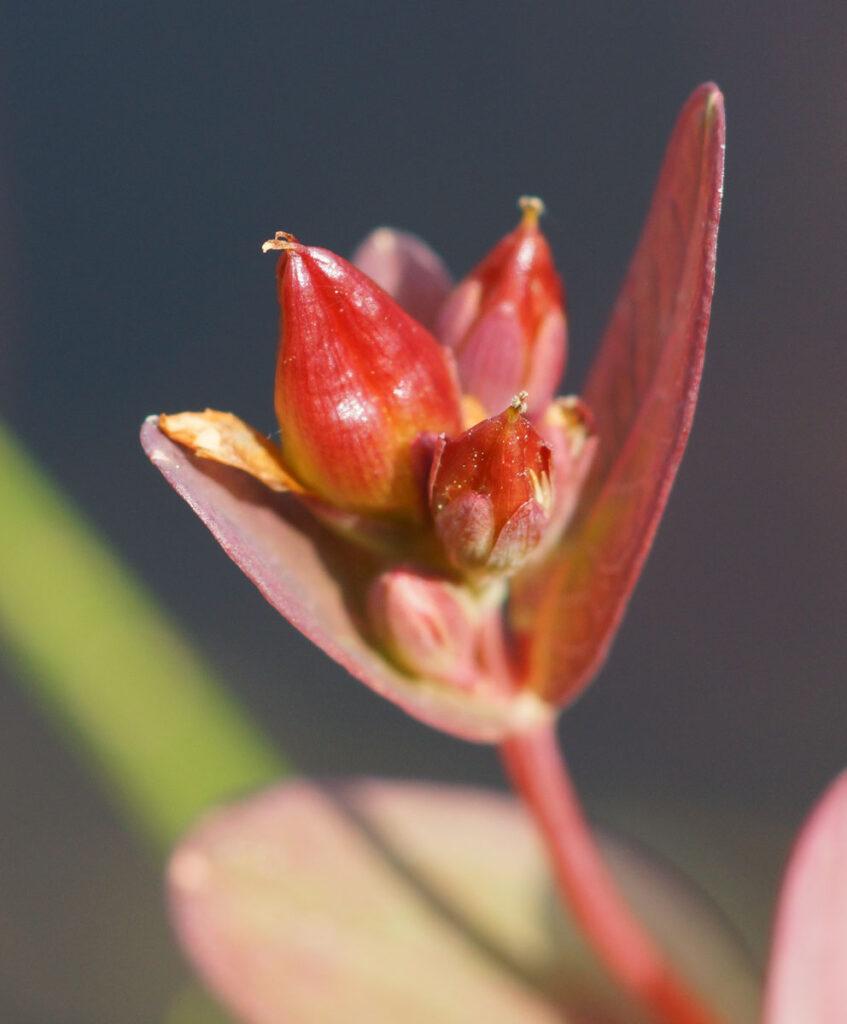 Marsh St Johnswort Triadenum fraseri