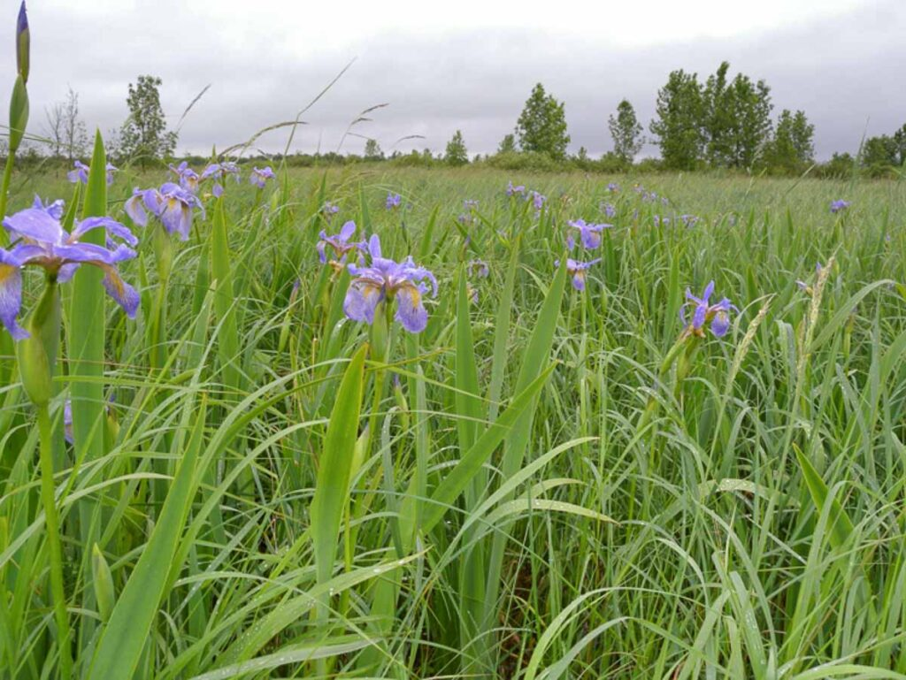Northern Blue Flag Irises