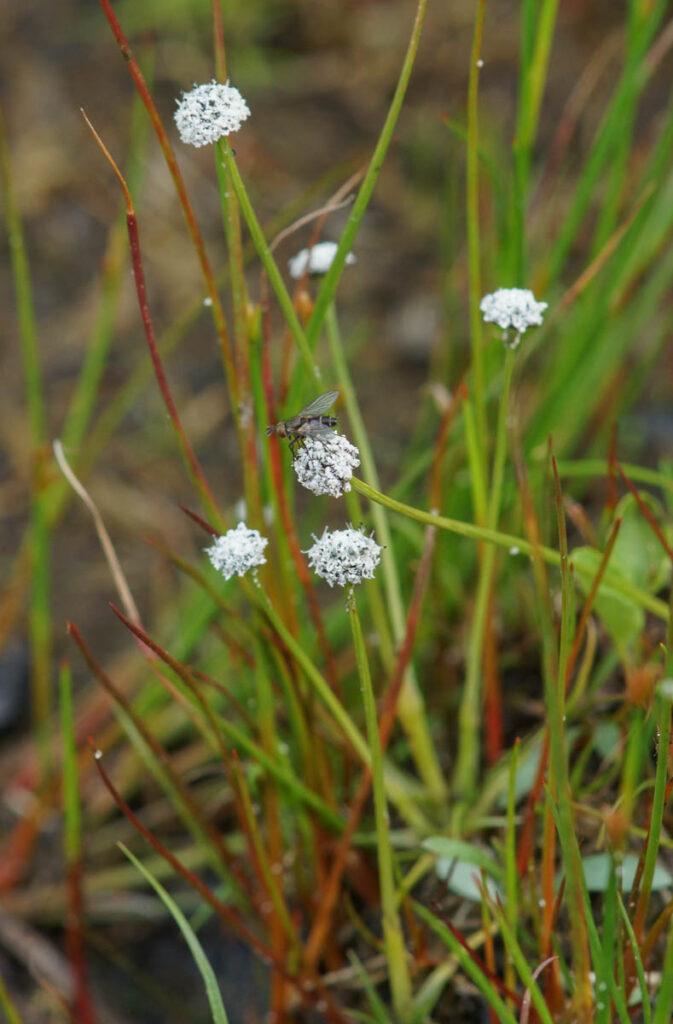 Pipewort (Eriocaulon aquaticum)