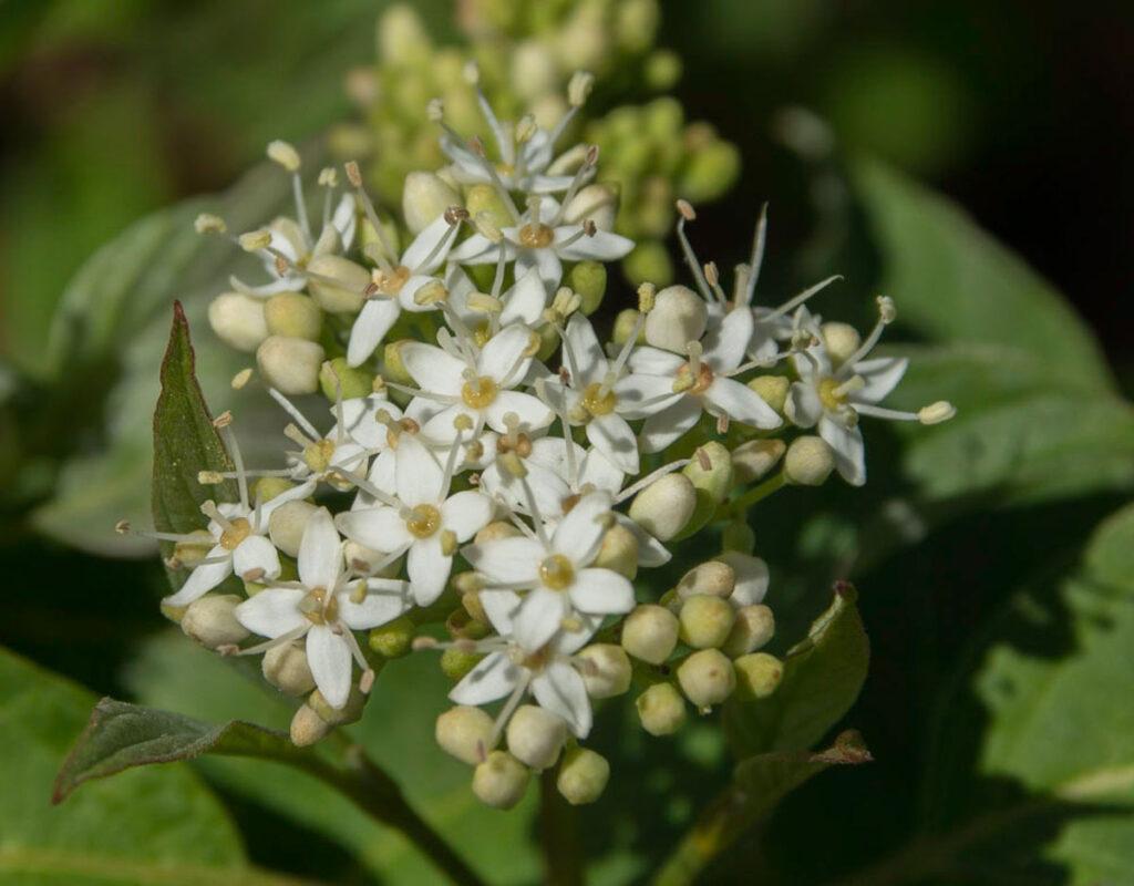 Red Osier Dogwood (Cornus stolonifera) Flowers