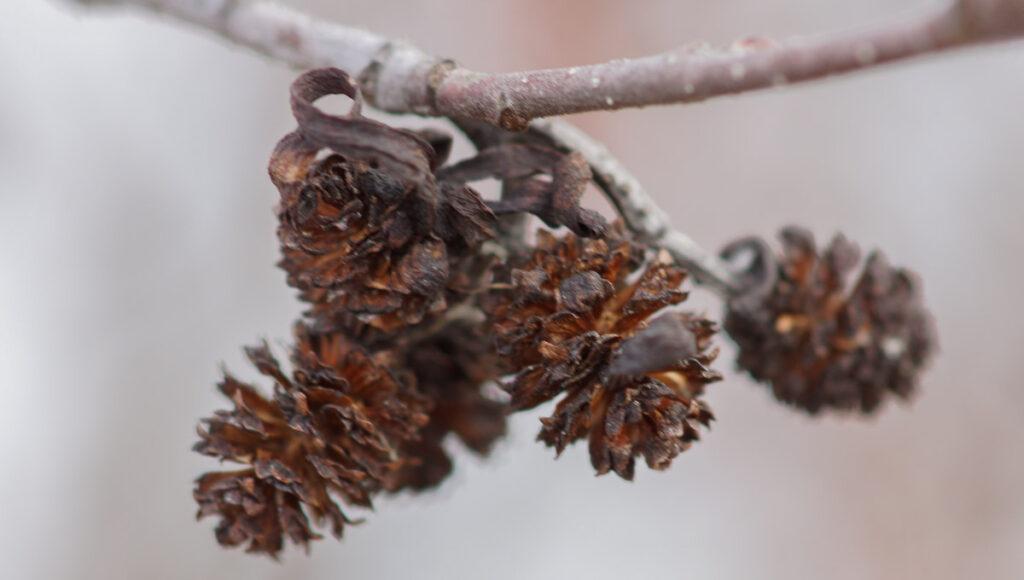 Speckled Alder Cones