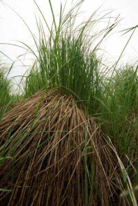 Carex stricta hummock