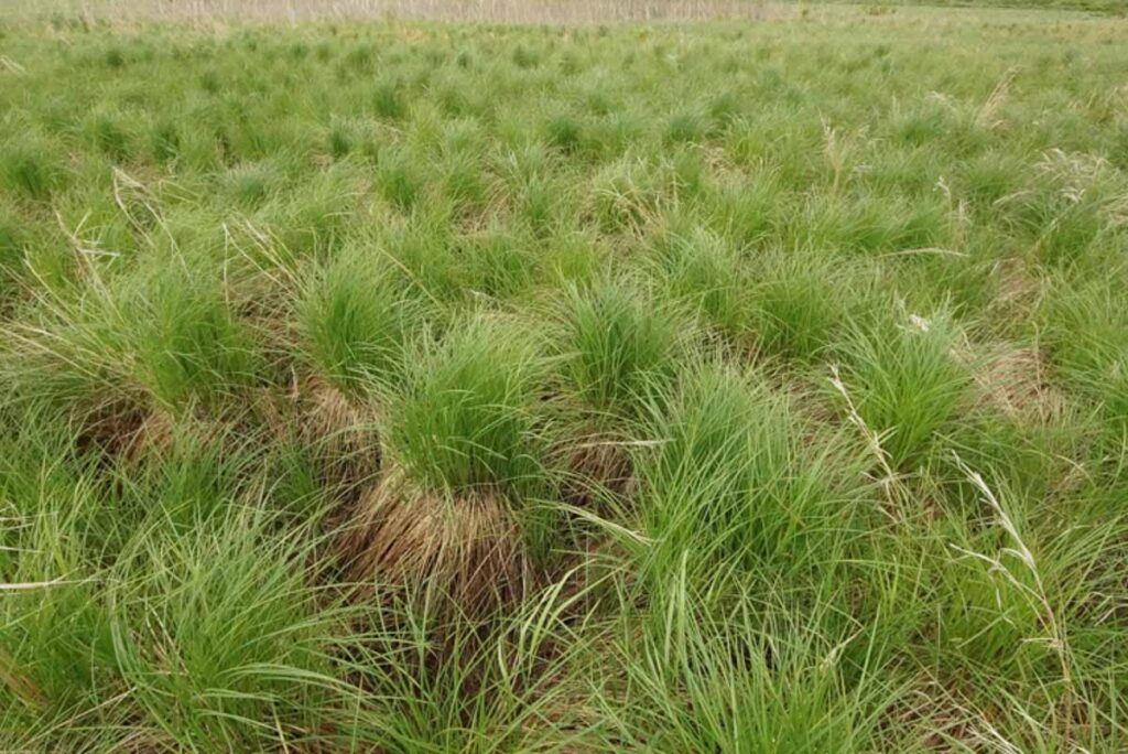 Carex Stricta Tussocks