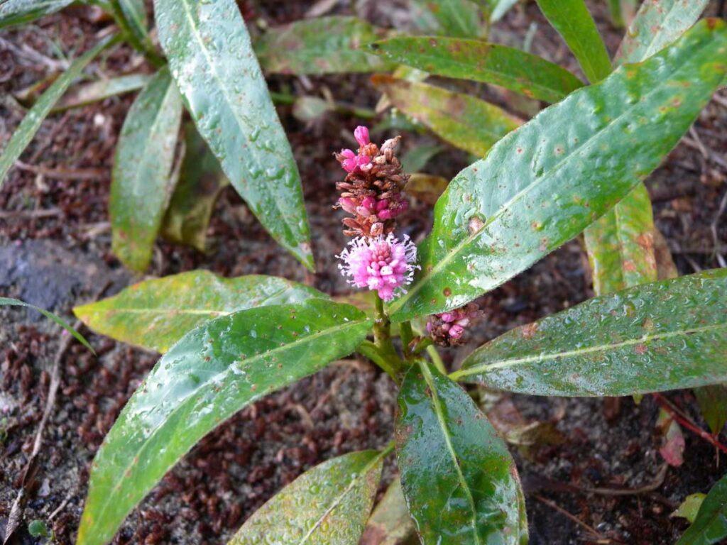 Water Smartweed (Polygonum amphibium)