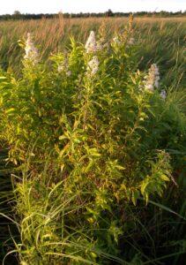 White Meadowsweet in a sedge meadow.
