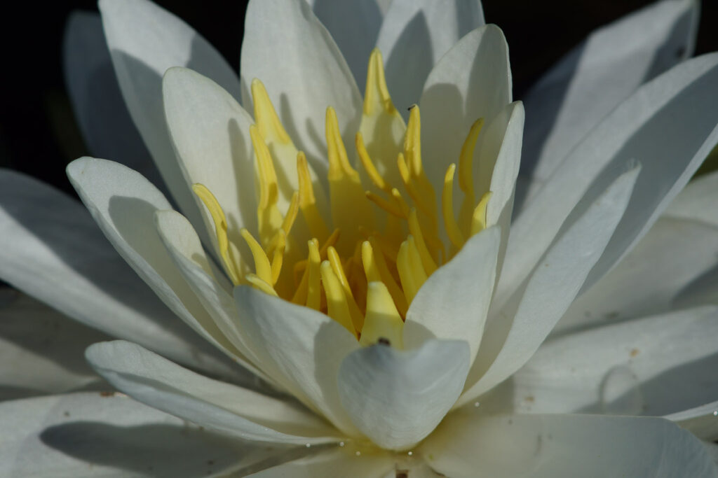 White water-lily Flower