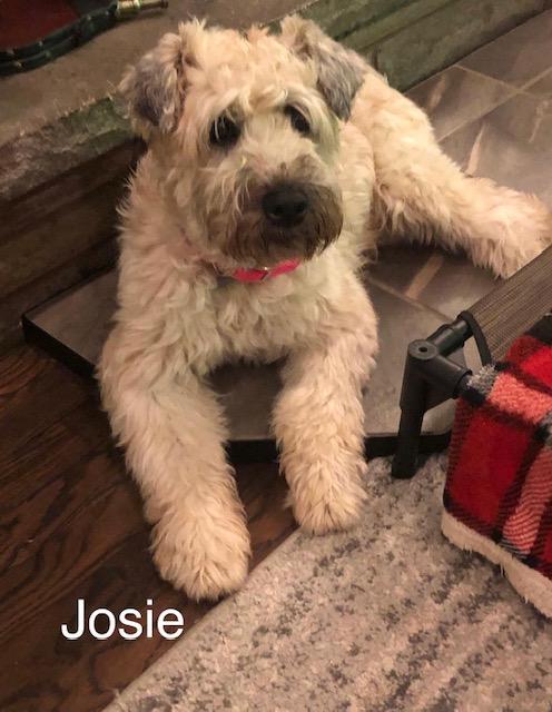 Josie-Wheaten Terrier