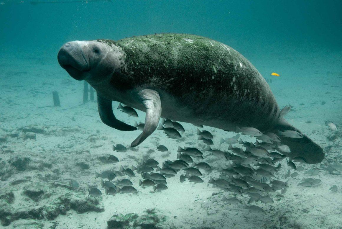 Animal Profile: The Manatee