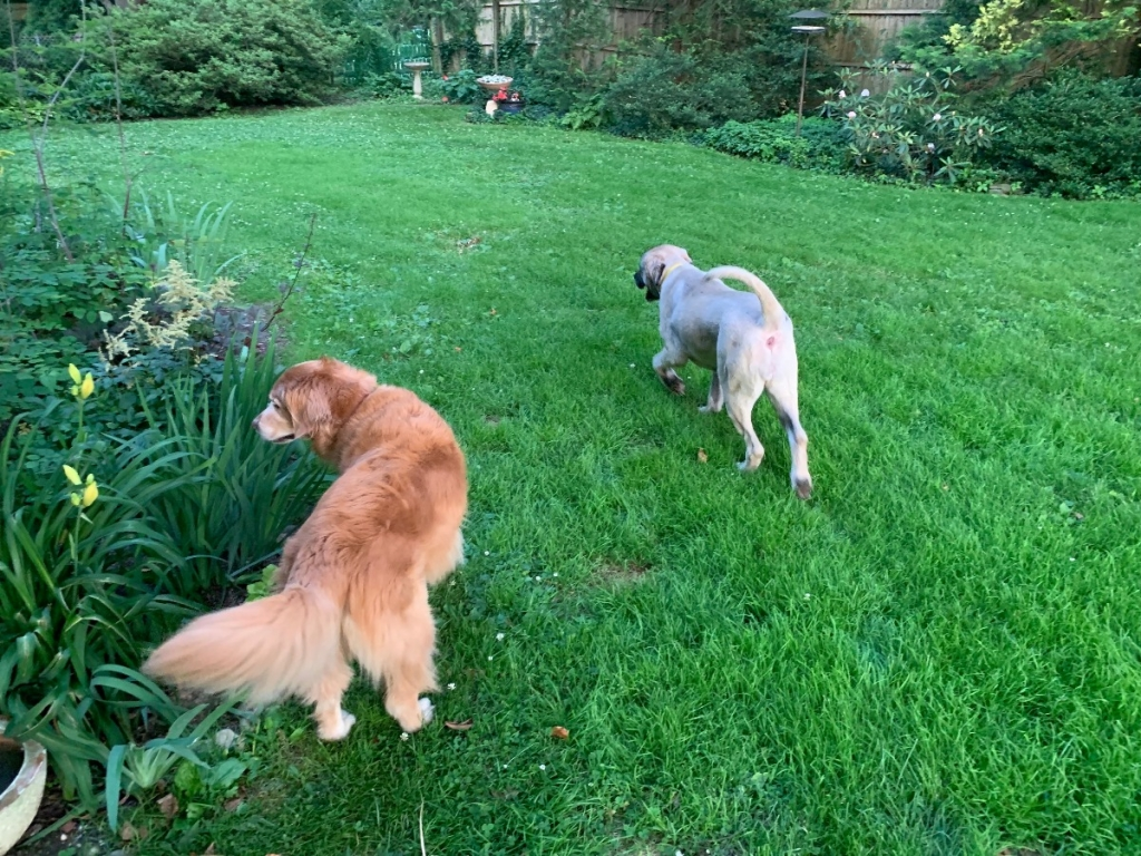 Emma, our golden retriever, and Elsa in our yard at home.