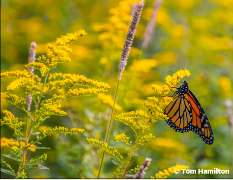 Monarch butterfly on yellow plant.
