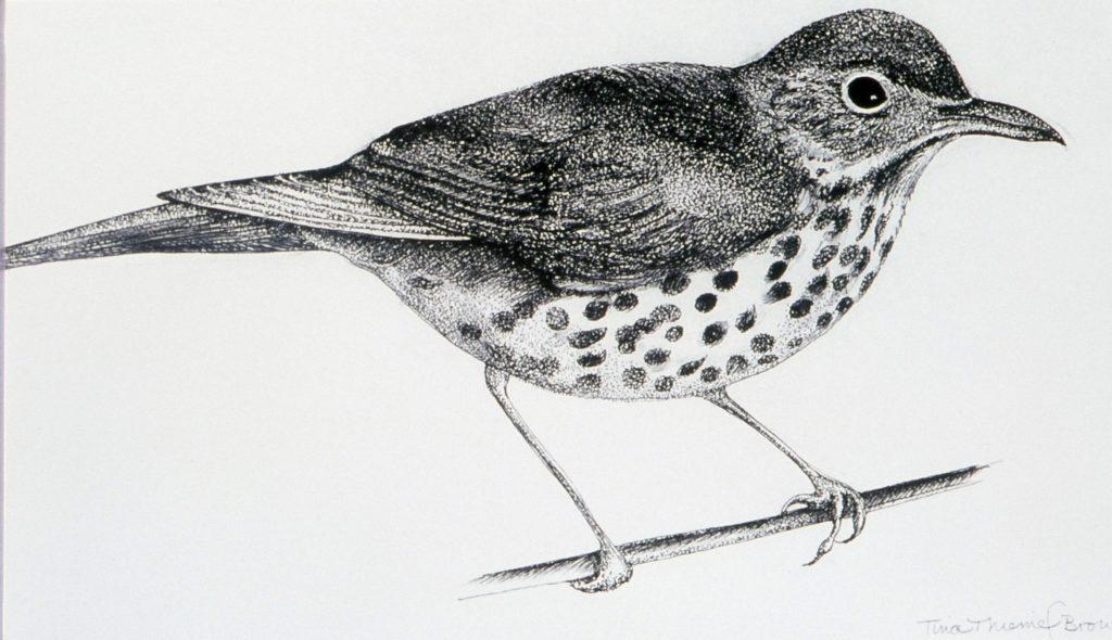 Drawing of a wood thrush by Tina Thieme Brown
