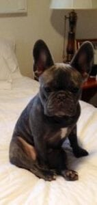 Driscol's Blue Gene Frenchies