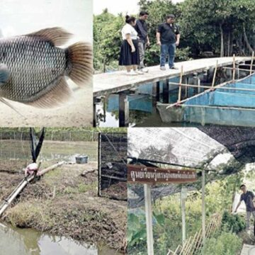 วิธีการเลี้ยงปลาแรดในบ่อดิน