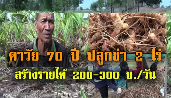 ตาวัย 70 ปี ชาว อ.กุดรัง จ.มหาสารคาม ปลูกข่า 2 ไร่ เสริมจากการทำนา สร้างรายได้วันละ 200-300 บาท