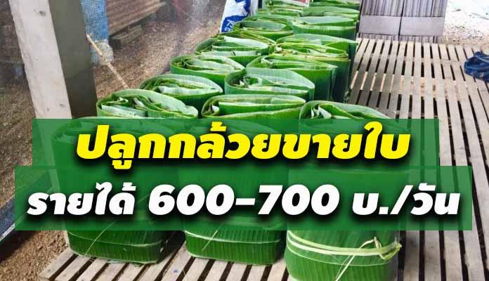 ปลูกกล้วยขายใบ ทำเงินให้ชาวบ้านเริ่มต้น 600-700 บ./วัน