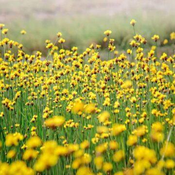 งามแท้เด้อ! เหลืองเต็มทุ่ง ดอกอะไรชื่อไม่เพราะ แต่สวยงามมาก